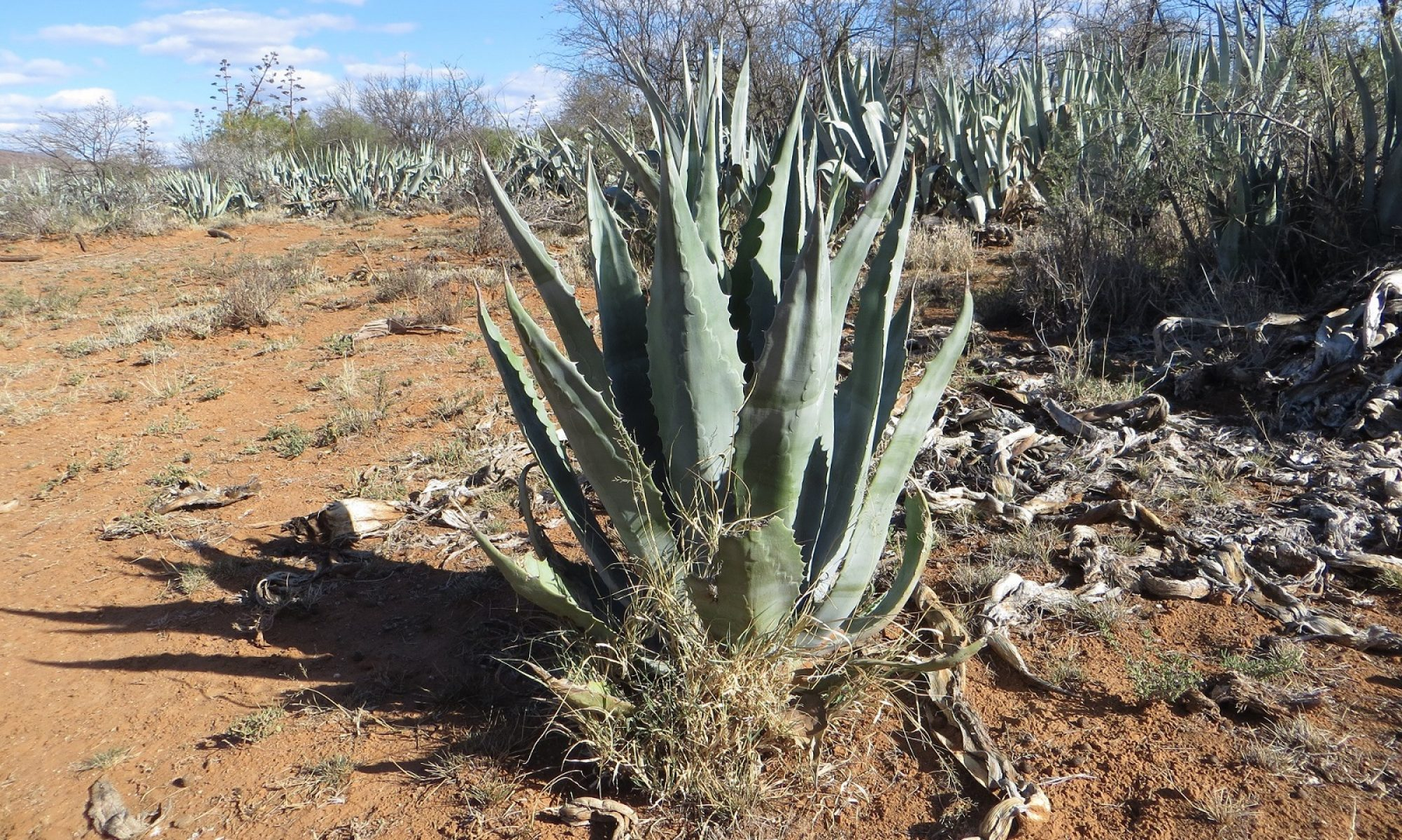 Three Agaves | Pure Karoo Agave Spirit